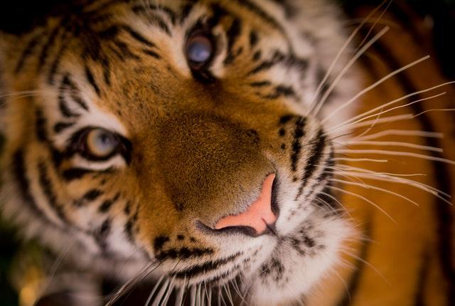 africa-animal-cat-3704