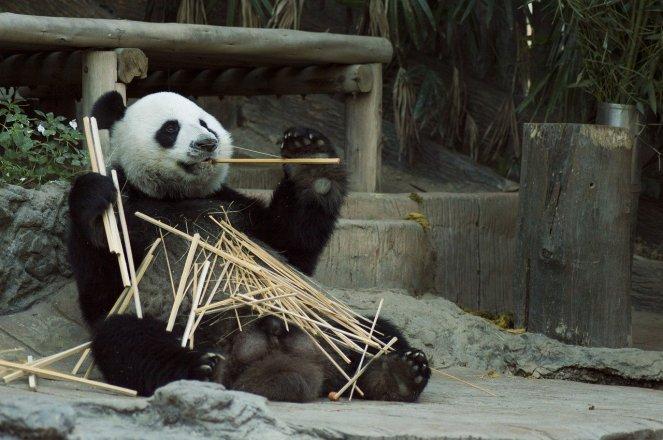 panda-1203101_1280